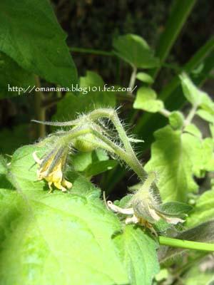 Tomato_20110527135529.jpg