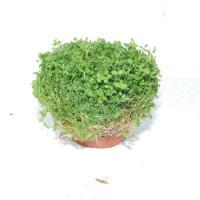 ニューパール鉢3