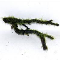 国産ウイロー枝流木3