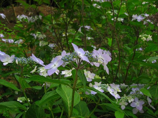 爽やか色で好きな紫陽花