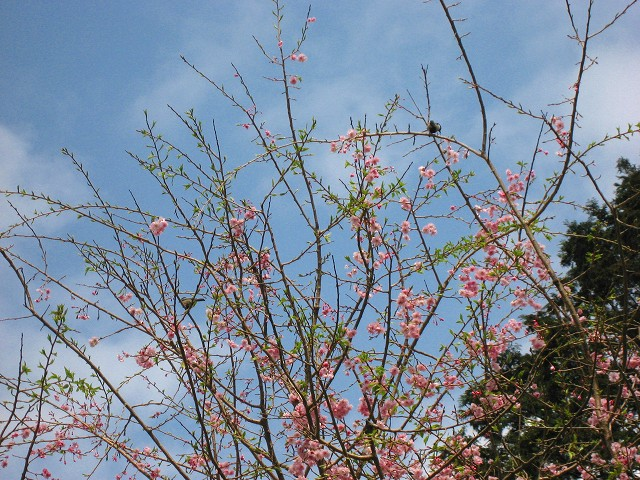 可愛らしいピンクの桜