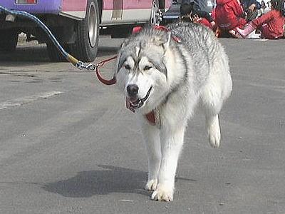 犬ぞり84