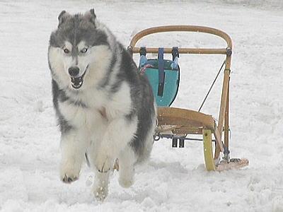 犬ぞり85