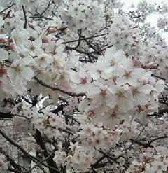 二ヶ領用水沿い_満開の桜