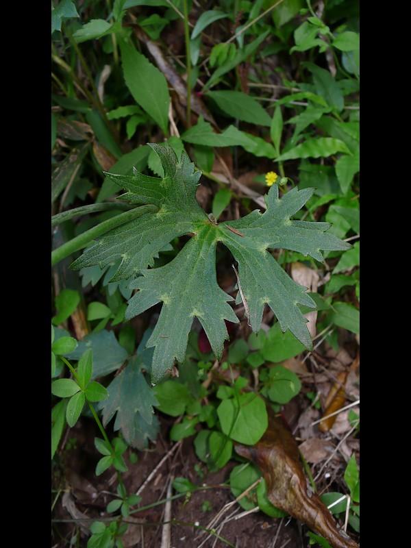 ウマノアシガタ 葉