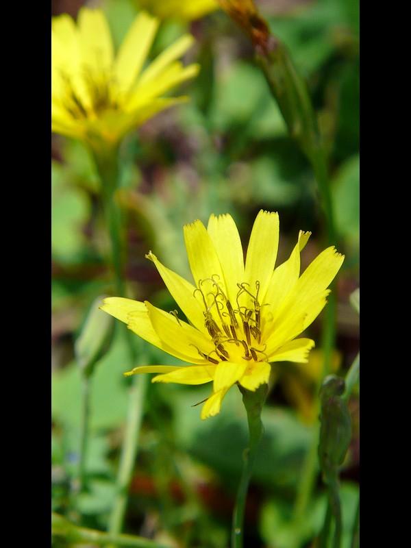 ジシバリ (イワニガナ) 花