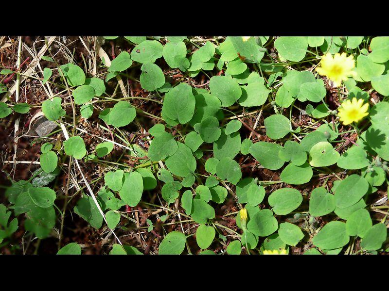 ジシバリ (イワニガナ) 葉と匍匐枝(ストロン)