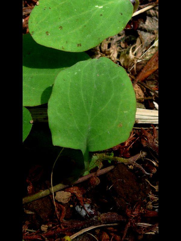 ジシバリ (イワニガナ) 葉