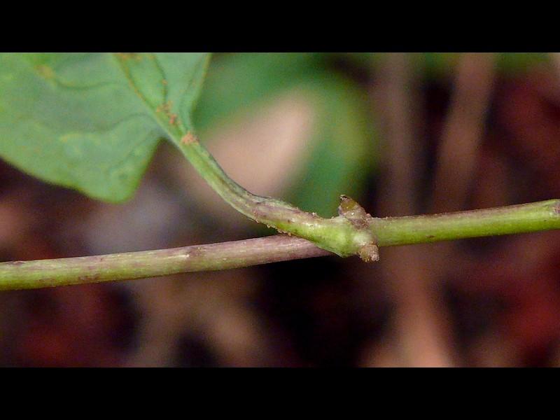 ジシバリ (イワニガナ) 節からの発根