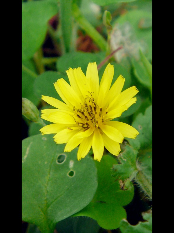 ジシバリ (イワニガナ) 花の拡大