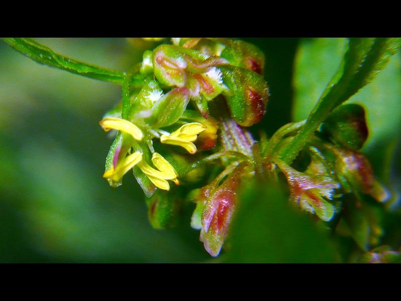 エゾノギシギシ 花