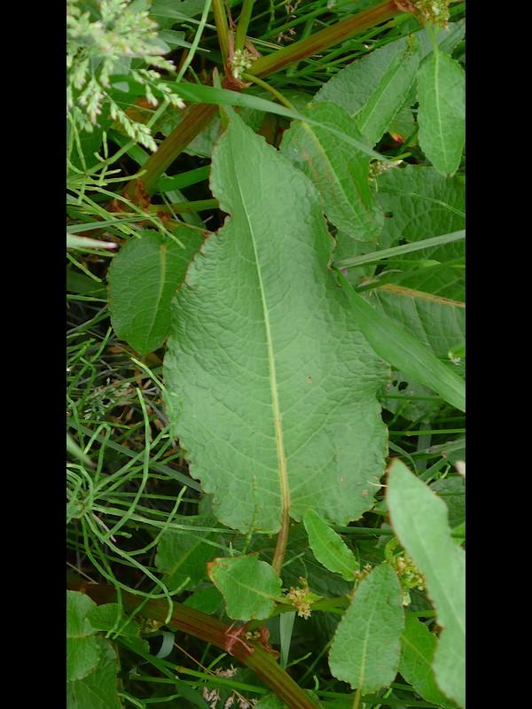エゾノギシギシ 葉