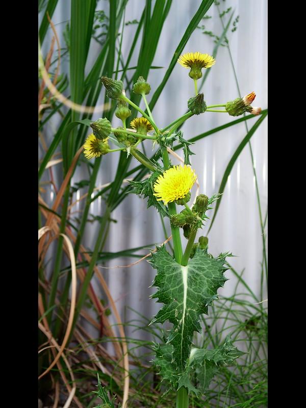 オニノゲシ 花序