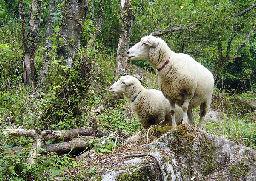 羊の大活躍