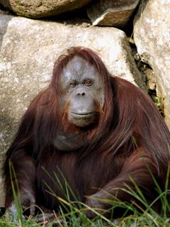 オランウータン,おらんうーたん,Orangutan