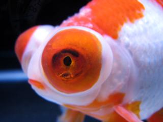 金魚,キンギョ,Goldfish