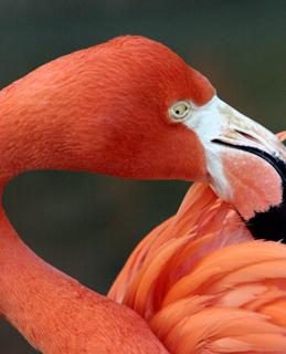 フラミンゴ,ふらみんご,Flamingo