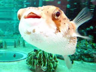 ハリセンボン,はりせんぼん,アバサー,Porcupinefish