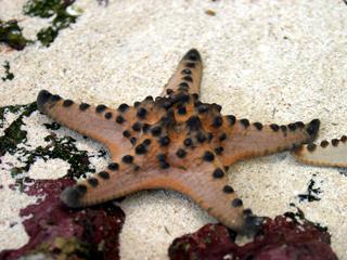 ひとで,ヒトデ,海星,人手,海盤車,starfish,星の魚,Sea star,海の星
