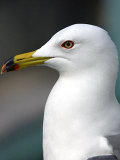 カモメ,かもめ,鴎,Common Gull,チャイカ