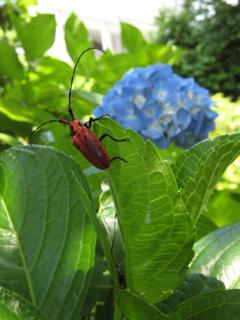カミキリムシ,髪切虫,天牛,テッポウムシ,鉄砲虫,Longhorn beetle,Longicorn