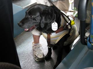 盲導犬,Guide dog