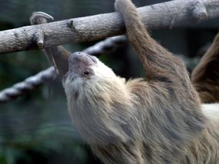 なまけもの,ナマケモノ,樹懶
