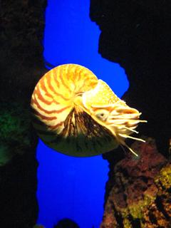 オウムガイ,ノーチラス,Nautilus