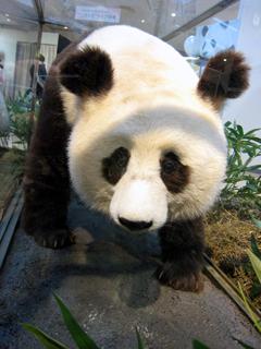 パンダ,ぱんだ,大熊猫,ジャイアントパンダ,シロクログマ,Giant Panda