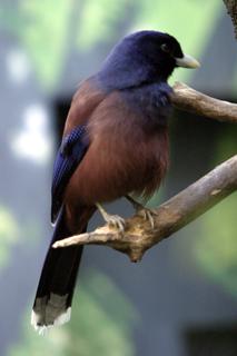 ルリカケス,瑠璃橿鳥,Garrulus lidthi