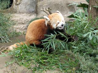 レッサーパンダ,れっさーぱんだ,Red Panda,小熊猫