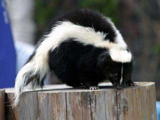 スカンク,すかんく,Skunk
