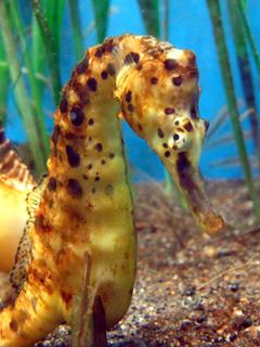 タツノオトシゴ,Seahorse