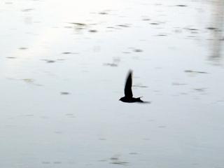 つばめ,ツバメ,燕,ツバクラメ,Barn Swallow