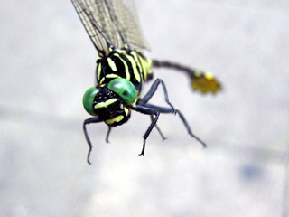 とんぼ,トンボ,蜻蛉,Dragonfly,Flyingadder,秋津,アキツ,アキヅ