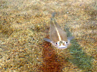 ヨツメウオ,四つ目魚,Four-eyed fish