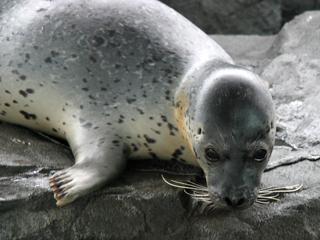 アザラシ,あざらし,海豹