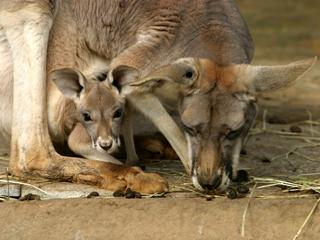 カンガルー,Macropus,kangaroo