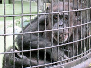 チンパンジー,ちんぱんじー,Chimpanzee