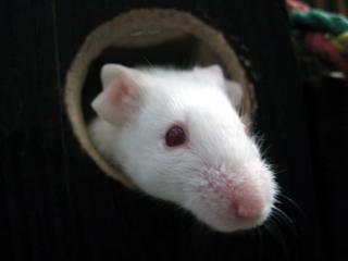ハツカネズミ,はつかねずみ,二十日鼠,廿日鼠,house mous