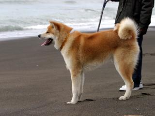 犬,いぬ,Dog,わんわん,Akita,Akita Inu,Japanese Akita,秋田犬,フク