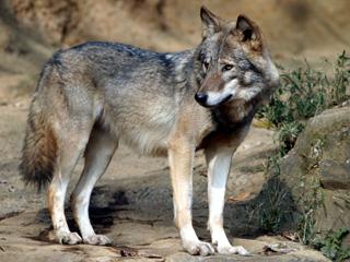 オオカミ,おおかみ,ウルフ,狼,Wolf