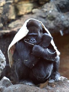 ゴリラ,ごりら,シルバーバック,Gorilla,ナックルウォーキング,ドラミング