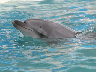 イルカ,いるか,ドルフィン,海豚,Dolphin