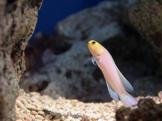 イエローヘッドジョーフィッシュ,Yellowhead jawfish