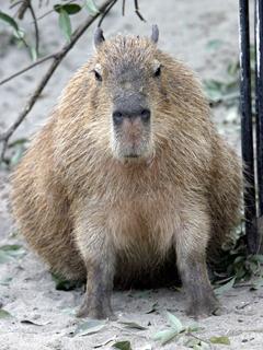 かぴばら,カピバラ,Capybara,Hydrochoerus hydrochaeris