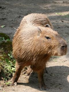 かぴばら,カピバラ,ヌートリア,Capybara,Hydrochoerus hydrochaeris