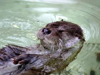 川獺,かわうそ,カワウソ,ユーラシアカワウソ,Eurasia Otter