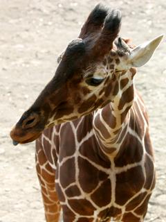 あみめきりん,アミメキリン,Reticulated Giraffe