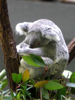 コアラ,こあら,コモリグマ,フクログマ,Koala